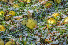 Pomme tardive Photo libre de droits