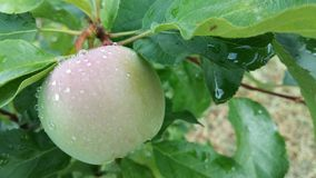 Pomme verte Photo libre de droits