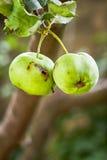 Pomme verte avec le trou de ver photographie stock libre de droits