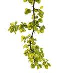 Pomme verte de branche sur le blanc photos libres de droits