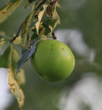 Pomme verte sur l'arbre Images stock