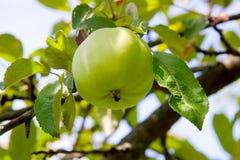 Pomme verte sur l'arbre dans le jardin de fruit Photo libre de droits