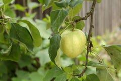 Pomme verte sur un arbre Image libre de droits