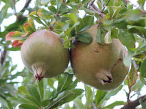 Pommegranate Lizenzfreie Stockfotografie