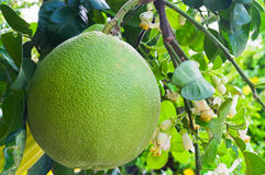 Pommelo, pomelo, or pummelo. Closeup of fruit of pommelo, pomelo, or pummelo royalty free stock photography