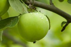 Pommes accrochant sur un arbre Image libre de droits