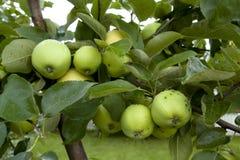 Pommes accrochant sur un arbre Photos libres de droits