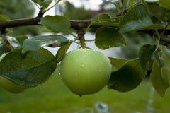 Pommes accrochant sur un arbre Images stock