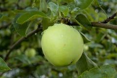 Pommes accrochant sur un arbre Photographie stock