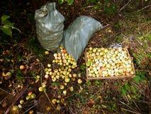 Pommes au sol Photographie stock