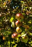 Pommes au soleil Image stock