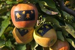 Pommes avec des autocollants avec des cloches de Noël dans l'arbre Image stock