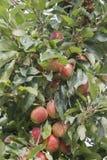 Pommes cachées photo libre de droits