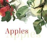 Pommes d'aquarelle avec des feuilles Fond Image libre de droits