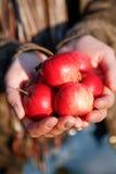 Pommes d'og de poignée Photo libre de droits