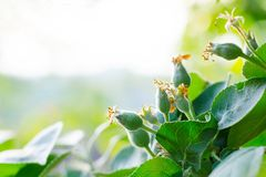 Pommes d'ovaire de bébé Le concept du jardinage, du DIY, de l'élevage de fruit sans GMO, du naturel et de l'utilité Avec l'espace Photo stock