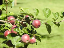Pommes dans l'arbre Photos libres de droits