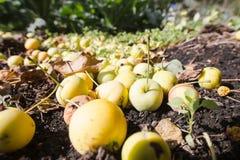 Pommes dans l'herbe 3427 Photo stock