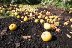 Pommes dans l'herbe 3427 Photographie stock