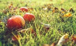 Pommes dans l'herbe verte Images libres de droits