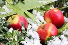 Pommes dans la neige photos libres de droits
