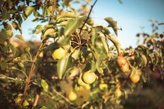 pommes dans le jardin en automne Photographie stock libre de droits