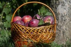 pommes dans le panier Photos stock