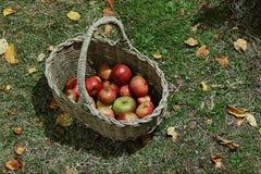 Pommes dans le panier dans le jardin Photo libre de droits