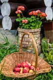 Pommes dans le panier en osier et le géranium rose photos libres de droits