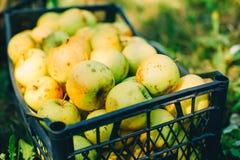 Pommes dans un cadre Photos stock