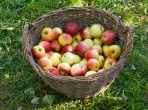 Pommes dans un panier Image stock