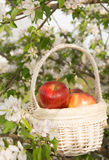 Pommes dans un panier en osier blanc image stock