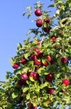 Pommes dans un pommier Photographie stock
