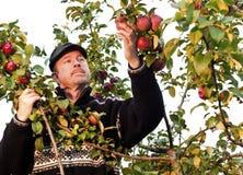 Pommes de cueillette Images stock