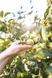 Pommes de cueillette Photographie stock libre de droits