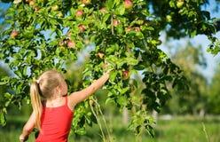Pommes de cueillette Image libre de droits