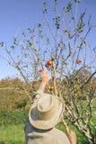 Pommes de cueillette d'homme supérieur avec un bâton en bois Image libre de droits