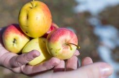 Pommes de cueillette d'homme supérieur dans son verger Il examinant la production de pomme tout en tenant la caisse avec des pomm Photos stock