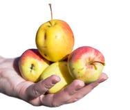Pommes de cueillette d'homme supérieur dans son verger Il examinant la production de pomme tout en tenant la caisse avec des pomm Photographie stock
