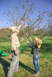 Pommes de cueillette d'homme supérieur et d'enfant avec le bâton en bois Photo stock