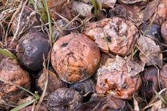 Pommes de décomposition Images libres de droits