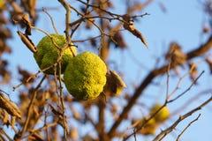 Pommes de haie - pomifera de Maclura Image libre de droits