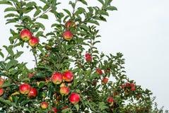 Pommes de maturation de fin Photos libres de droits