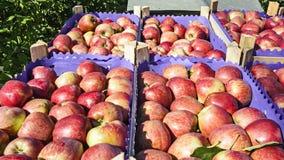 Pommes de plantation image stock
