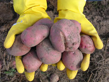 Pommes de terre Photo libre de droits