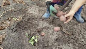 Pommes de terre de creusement avec une pelle banque de vidéos