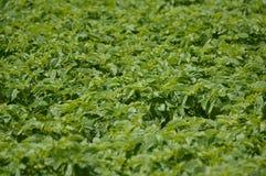 Pommes de terre croissantes Photographie stock