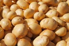 Pommes de terre d'or de Yukon Photo libre de droits