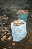 pommes de terre d'isolement blanches Images stock