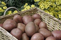 Pommes de terre dans le panier Image libre de droits